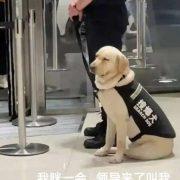 Perrito de seguridad se queda dormido en el trabajo; imagen se vuelve viral